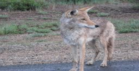 Coyote Sightings Becoming More Frequent